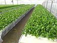 新鮮野菜の収穫体験゙