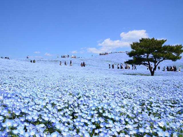 【茨城】《GW出発あり》一生に一度はみたい!青の奇跡!約450万本の【ネモフィラ】が咲くひたち海浜公園!あみアウトレット&メロン1玉お持ち帰り♪日帰りバスツアー
