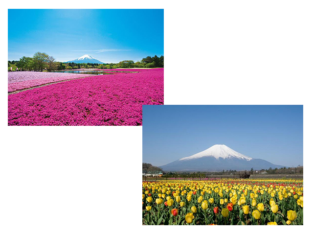 富士芝桜まつり&富士山麓の花畑